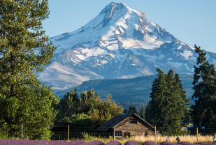 Mount Hood with Lavender field